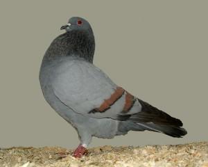 Zdjęcie gołębia Cauchois